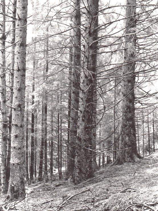 Gammelskog på Sjöby Mellangård vid Bergsjön. Foto: Kjell-Åke Brorsson på 1950-talet.